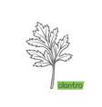 cilantro hand drawn vector image vector image