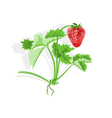 Strawberry and leaves vector image