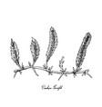 hand drawn of caulerpa taxifoli seaweed on white b vector image vector image