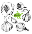 hand drawn set of garlic vector image vector image