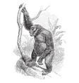 western gorilla vintage vector image vector image