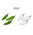 jalapeno capsicum annuum official state pepper vector image