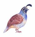 quail watercolor vector image vector image