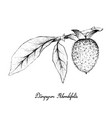 hand drawn of diospyros rhombifolia on white backg vector image
