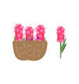 pink flowers in basket blooming hyacinth isolated vector image