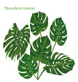 set tropical monstera leaves realistic drawing in vector image vector image