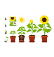 sunflower sprouts sunflowers seedling shoots in vector image
