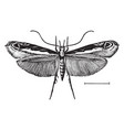 leaf blotch miner moth vintage vector image vector image