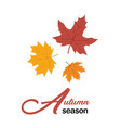 autumn season maple leaves design image vector image vector image