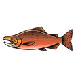 male chinook salmon fish vector image vector image