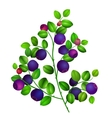 Close up of a blueberry branch isolated vector image