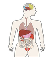 human body organ vector image