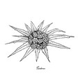hand drawn of pandanus tectorius fruit on white ba vector image vector image