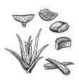 hand drawn set of aloe vera vintage sketch vector image vector image