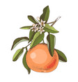hand drawn blooming grapefruit branch with ripe vector image