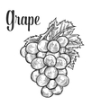 Grape with leaf fruit berry sweet wine sangria vector image vector image
