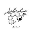 hand drawn of fresh manila tamarind fruit vector image vector image