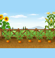 carrots growing in ecological gard vector image vector image