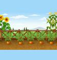 carrots growing in ecological gard vector image