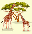 cartoon giraffes eating foliage of acacia trees in vector image