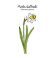 poets daffodil or narcissus nargis pheasant s vector image