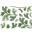 set green spruce twigs vector image vector image