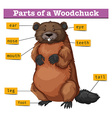 Diagram showing parts of woodchuck vector image vector image