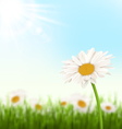 Green grass lawn with white chamomiles flowers and vector image vector image