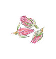 dried rose bud watercolor vector image vector image