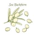 hand draw sea buckthorn berries vector image