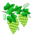 two bunch of green grapes with leaves isolated on vector image