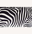 zebra print texture with black and white stripes vector image vector image