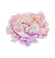 Isolated pink watercolor painting peony flower vector image