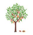 cacao tree vector image vector image