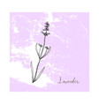hand drawn lavender flower isolated vector image vector image