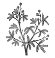 Mimosa pudica vintage engraving vector image vector image
