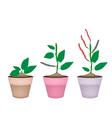 Kidney Bean Plant in Ceramic Flower Pots vector image