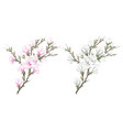 white and pink magnolia flowers branch vector image vector image