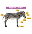 Diagram showing different parts of zebra vector image vector image