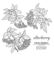 elderberry set vector image vector image