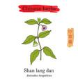 medicinal herbs of china anisodus tanguticus vector image vector image