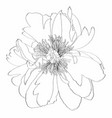peony line hand drawn vector image