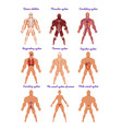 different human organ system set muscular vector image