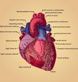 anatomical heart vector image