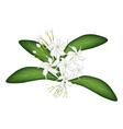 Cape Jasmine on Tree vector image vector image