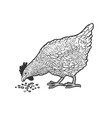 chicken pecks grain sketch vector image