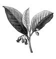 Nutmeg vintage engraving vector image
