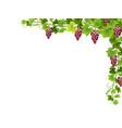 red grape branch in corner vector image vector image