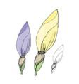 hand drawn iris buds sketch vector image vector image