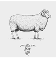 sheep engraved hand drawn in vector image vector image